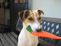 Eron, chien Jack Russell Terrier