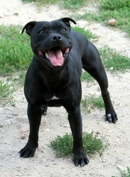 Cakti , chien Staffordshire Bull Terrier