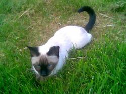 Lara, chat Siamois