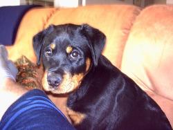 Abby, chien Rottweiler