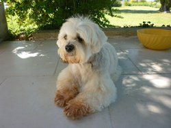 Narcis, chien Lhassa Apso