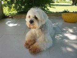 Narcis, chien Lhassa Apso
