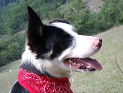 Free Sky, chien Border Collie