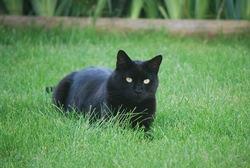 Fripon, chat Européen