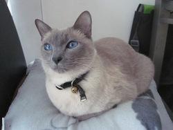 Violette, chat Thaï