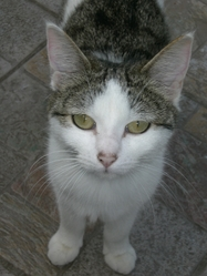 Olympe, chat Gouttière