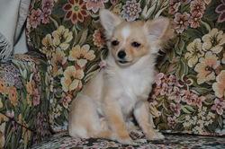 Elea, chien Chihuahua