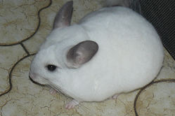 Diablesse, rongeur Chinchilla