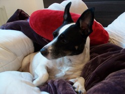 Zizou, chien Jack Russell Terrier