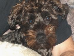 Teddy, chien