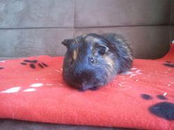 Aramis, rongeur Cochon d'Inde