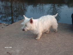 Betsy, chien West Highland White Terrier