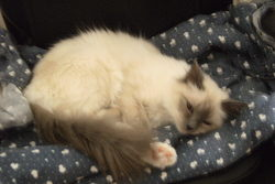 Eva, chat Birman