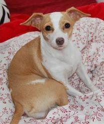 Lilliputienne, chien Chihuahua