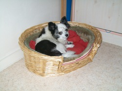 Polly, chien Chihuahua