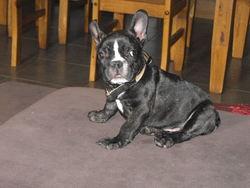 Gringo, chien Bouledogue français
