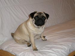 Sybelle, chien Carlin