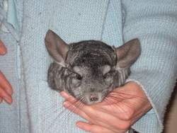 Béiou, rongeur Chinchilla