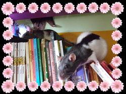 Agatha, rongeur Rat