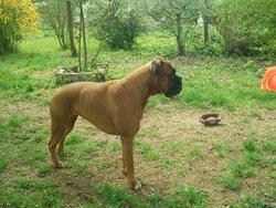 Birdy, chien Boxer