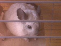 Chipie, rongeur Chinchilla
