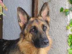 Delphes, chien Berger allemand