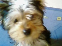 Chanelle, chien Yorkshire Terrier