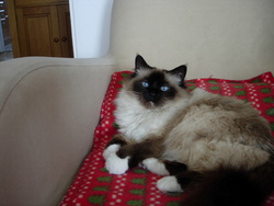 Gribouille Au Paradis, chat Birman