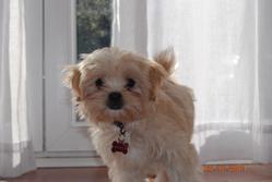 Groseille, chien Lhassa Apso