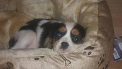Sparow, chien Cavalier King Charles Spaniel