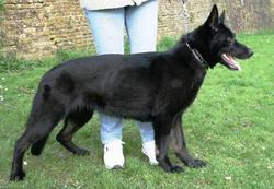 Eyka, chien Berger allemand