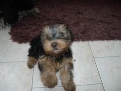 Filou, chien Yorkshire Terrier