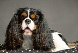 Bobby, chien Cavalier King Charles Spaniel
