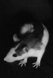 Led Zep, rongeur Rat