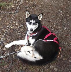 Xéna, chien Husky sibérien