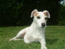 Cara, chien Jack Russell Terrier