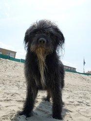 Hagrid, chien Berger des Pyrénées