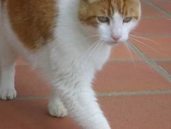 Charou, chat Gouttière