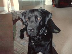 Fraja, chien Cane Corso