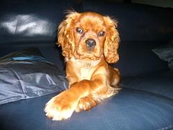 Elboy Des Jardins De Freville, chien Cavalier King Charles Spaniel