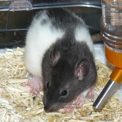 Némésis, rongeur Rat