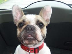 Djouna, chien Bouledogue français