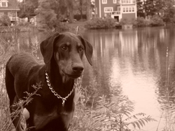 Mylow, chien Dobermann