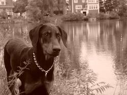 Mylow, chien Dobermann