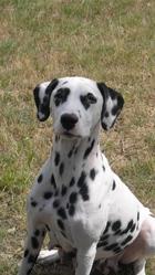 Daisie, chien Dalmatien
