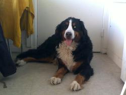 Altesse, chien Bouvier bernois