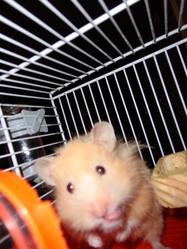 Zephir, rongeur Hamster