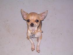Follichon, chien Chihuahua
