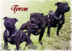 Tyron, chien Staffordshire Bull Terrier