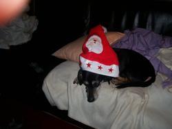 Pirate, chien Teckel